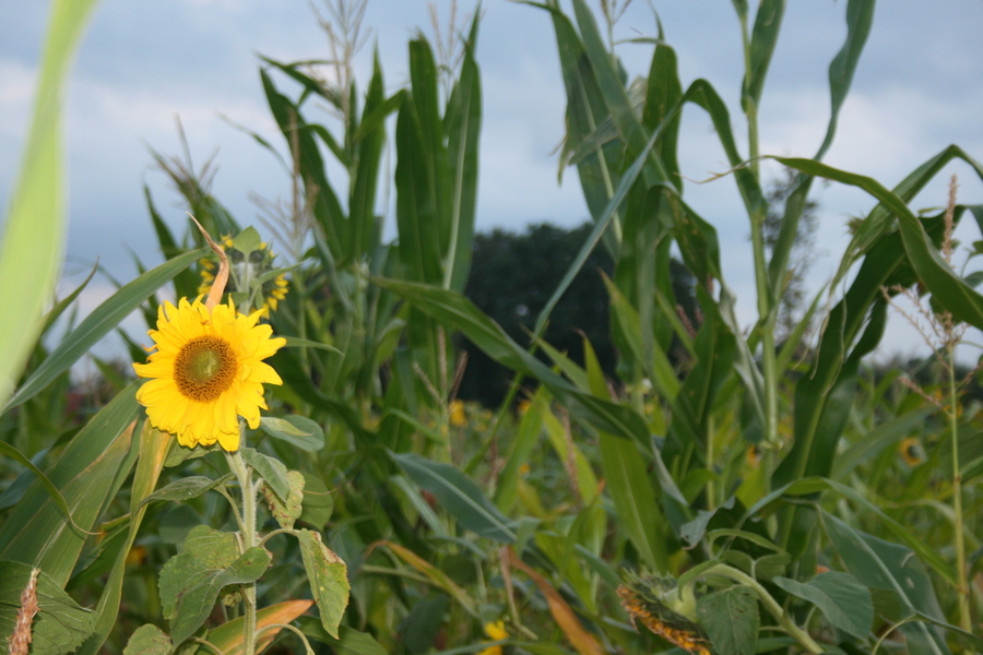 Maispflanzen- (4)